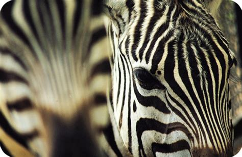 Zebra Pattern Meaning | zebra facts and symbolic meaning