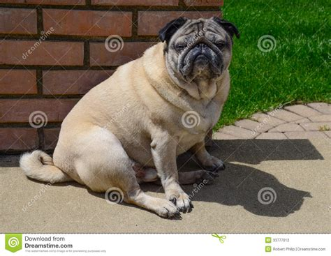 pug attitude pug with attitude stock photo image of domestic attitude