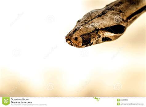 python heat l python brown snake stock photo image 29667110