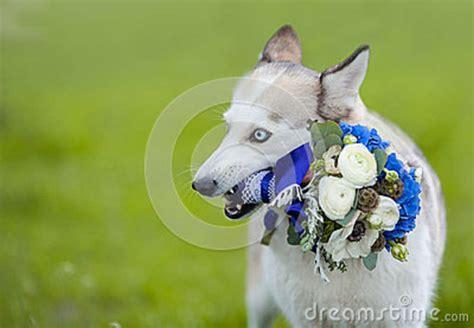 puppy bouquet wedding husky holding wedding bouquet stock photo image 41417428