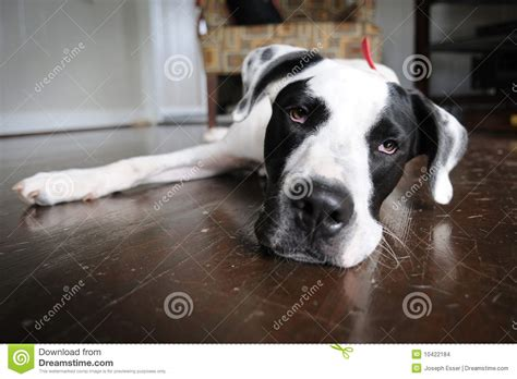 lazy puppy lazy stock images image 10422184