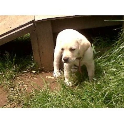 lab puppies oregon yellow labrador retriever puppies for sale in oregon breeds picture