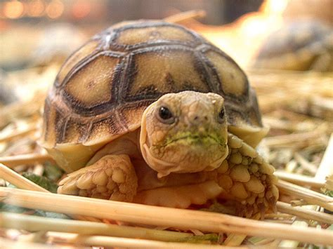 this is the cutest turtle ever pets pinterest