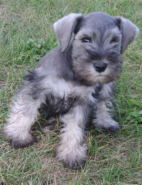 schnauzer puppy cut miniature schnauzer puppy haircut