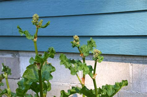 Did K Fed Plant One Last Seed by Rhubarb Flowers What To Do When Rhubarb Bolts And Goes To