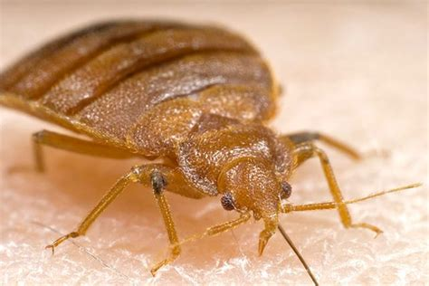 how do you get bed bugs in your bed how do you get bed bugs in your bed century 21