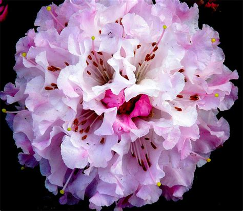 rhododendron flower pictures meaning coast rhododendron flowers