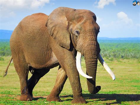 Indian Elephant Background Wallpaper 07945 - Baltana