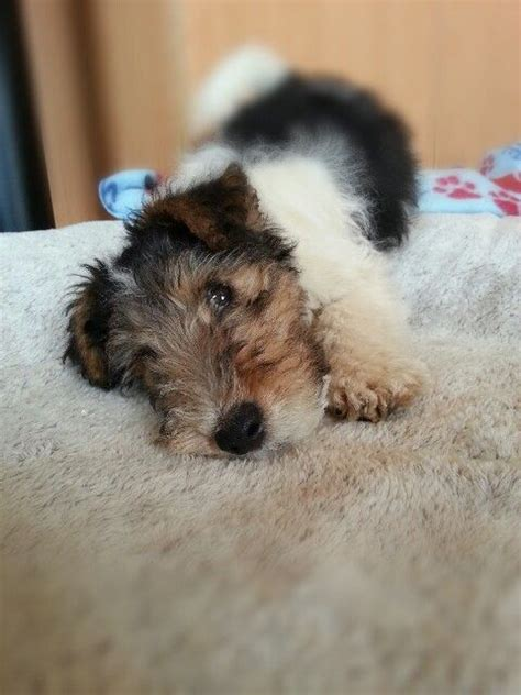 wire fox terrier puppies breeders tymochtee wire fox terriers breeder puppies ohio breeds picture