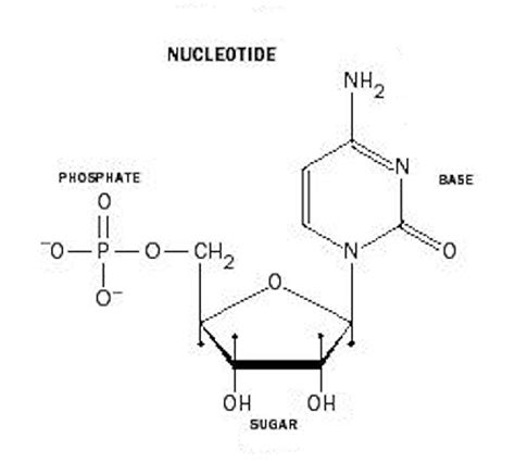 diagram of nucleotide human genetics