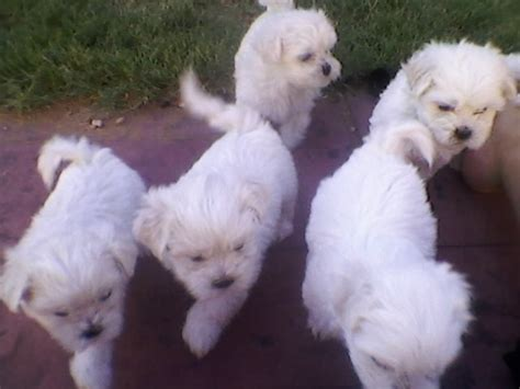 shih tzu puppies for sale adelaide maltese x shih tzu puppies adelaide dogs for sale puppies for sale adelaide 501940