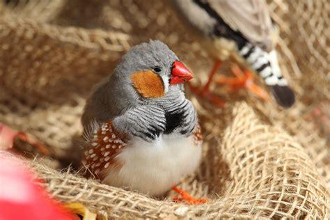 pet species five of the quieter pet bird species
