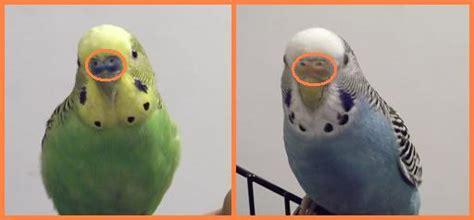 riproduzione cocorite in gabbia animal plus cocorite o pappagallini ondulati