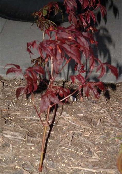 image gallery japanese maple seedlings