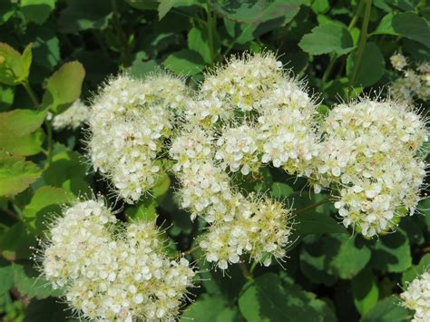 shrub with small white flower clusters tree or shrub archives page 5 of 20 fourth corner