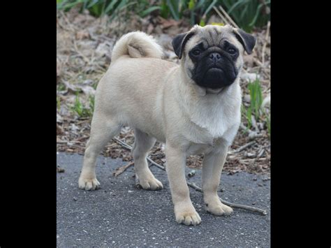 pugs bred for certified pugs bred for health specialist and dna certified parents pug puppies