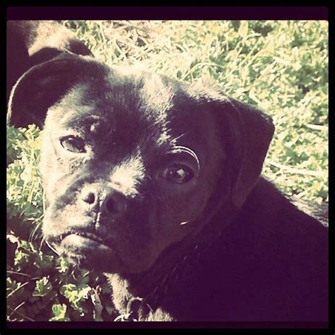 pug with longer snout black pug pug and black on
