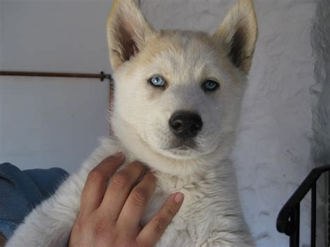 akita husky mix puppies for sale husky x akita puppies for sale dogs puppies for sale with free breeds picture