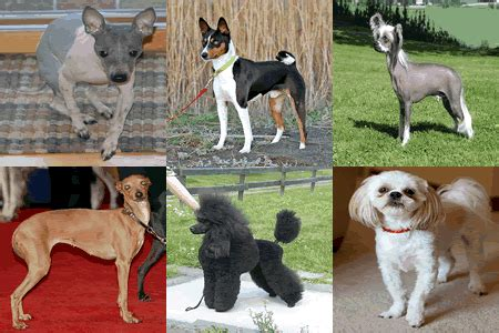 Low Shedding Small Dogs by Low Shedding Small Dogs Which One Should You Choose