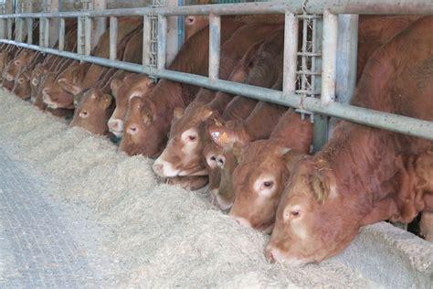 alimentazione bovini da carne la soluzione nutrizionale per un miglior adattamento degli