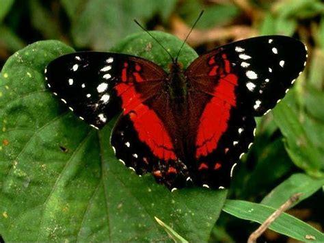 sfondi desktop fiori e farfalle farfalle pugenz foto sfondi desktop wallpapers farfalle