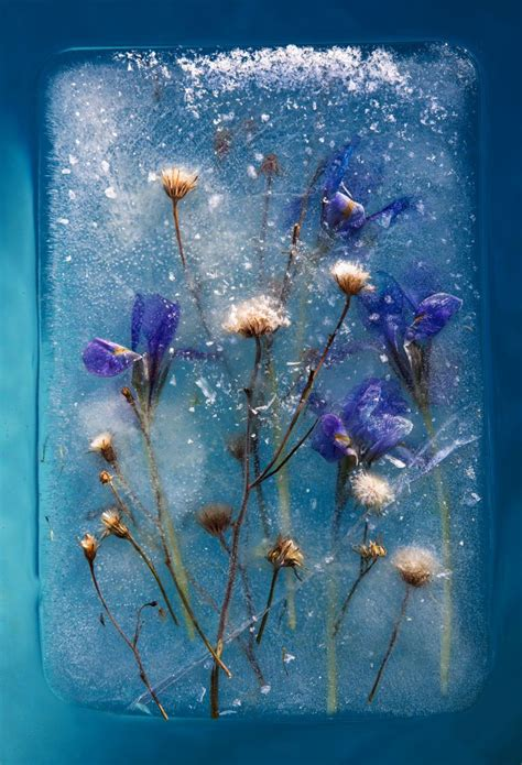 romantic photographs  frozen flowers  blocks  ice