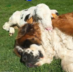 what is a of dogs called st bernards adopt an orphaned baby goat daily mail