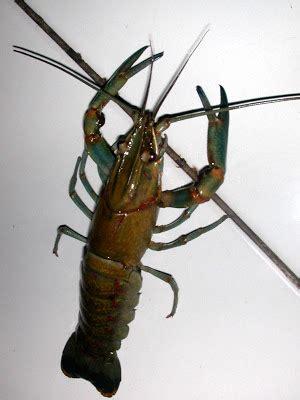 Lobster Air Tawar Malang 1 pengantar