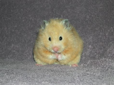 types hamster atol protected hamsters hamster guide