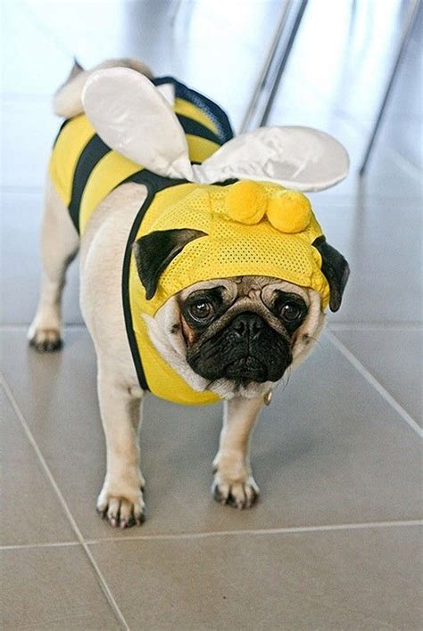 pug bee costume best 25 pugs in costume ideas only on pug costume pugs and a pug