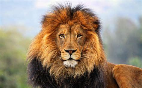 imagenes de leones gratis fondos de pantalla de leones wallpapers