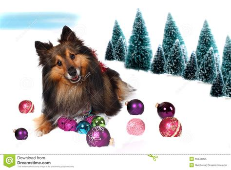 Charming Sheltie Christmas Cards #2: Sheltie-christmas-dog-snow-16846005.jpg