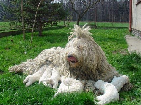 komondor puppies for sale komondor puppies for sale 0komentar it komondor