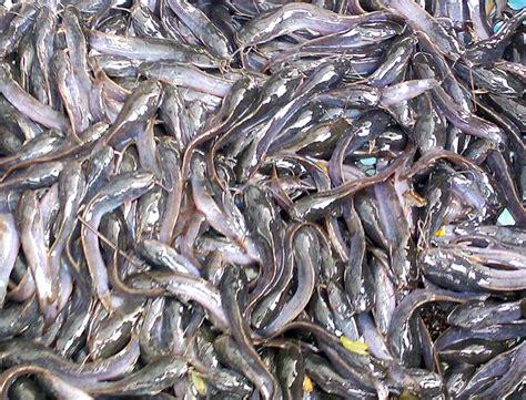 Bibit Ikan Lele Di Bandar Lung pilih bibit lele dari satu induk bebeja