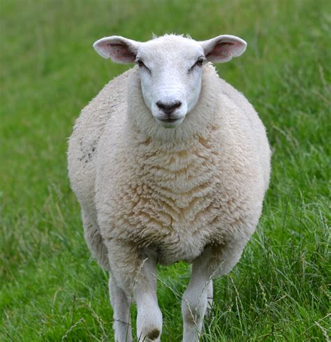 domestic sheep ovis aries are quadrupedal ruminant mammals typically kept as livestock