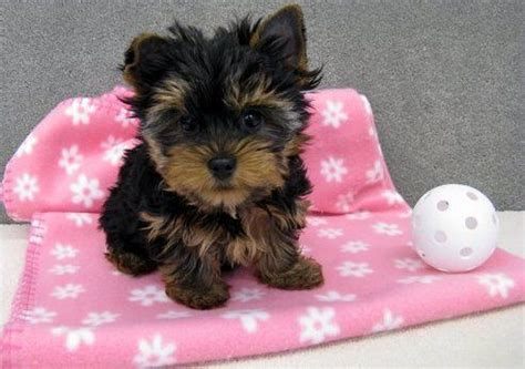miniature yorkie for adoption miniature yorkie available for for sale adoption from breeds picture