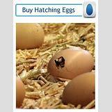 Barnevelder Eggs | 196 x 260 jpeg 66kB
