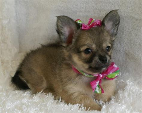 chihuahua puppies rescue looking chihuahua puppy for adoption offer