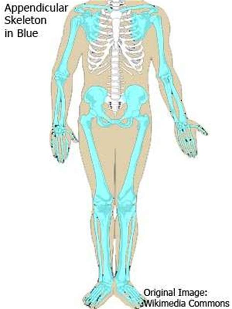 appendicular skeleton diagram but axial skeleton printable labeling exercise system