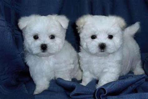 maltese puppies for sale in ny westchester puppies maltese puppies