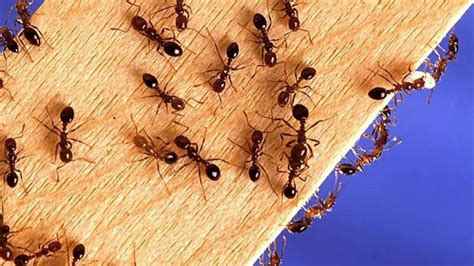 Ant 11 Tx termite treatment seagoville tx 75159 ant