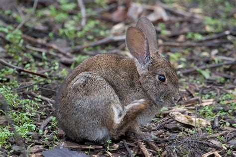 N Toothbrush Rabbit rodents environmental science policy and management 106 with barrett at of