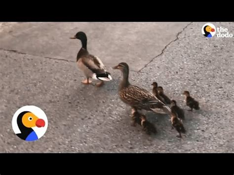 family rescue rescue family of ducks from drain the dodo