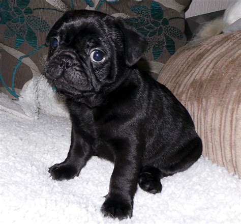 frenchie pugs for sale totally adorable frug frenchie x pug puppy s northton northtonshire