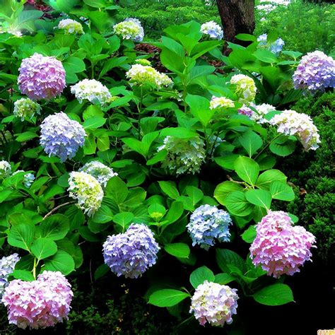 aliexpress com buy hot selling perennial flowers hydrangea seeds balcony potted plant