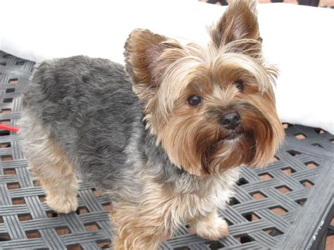 yorkie poo hair cuts 79 best images about yorkie poo love on pinterest