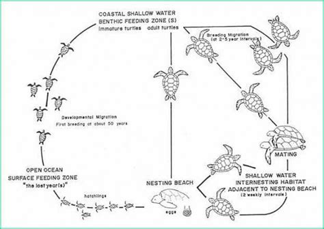 cycle of a turtle diagram cycle green turtles