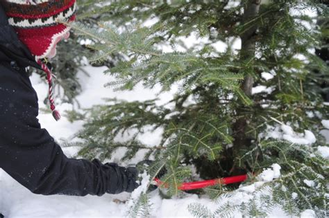 brian kennedy cuts a christmas tree at gouldson tree farm
