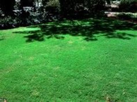 santa ana couch grass 1000 images about lawn and garden on pinterest bermudas