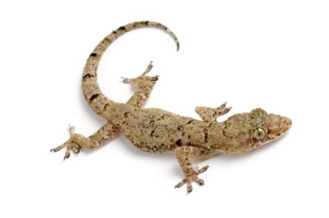 Feeder House Geckos house gecko for sale reptiles for sale